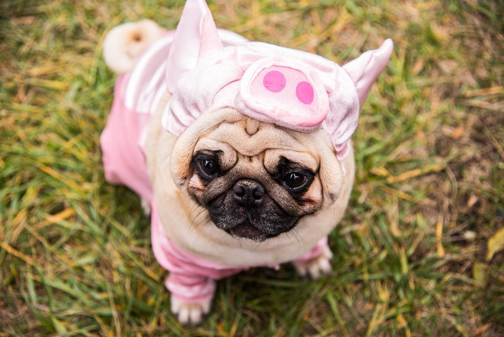 pug in pig costume - Pugs Halloween Costumes