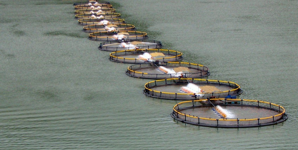 A row of floating Tilapia nets