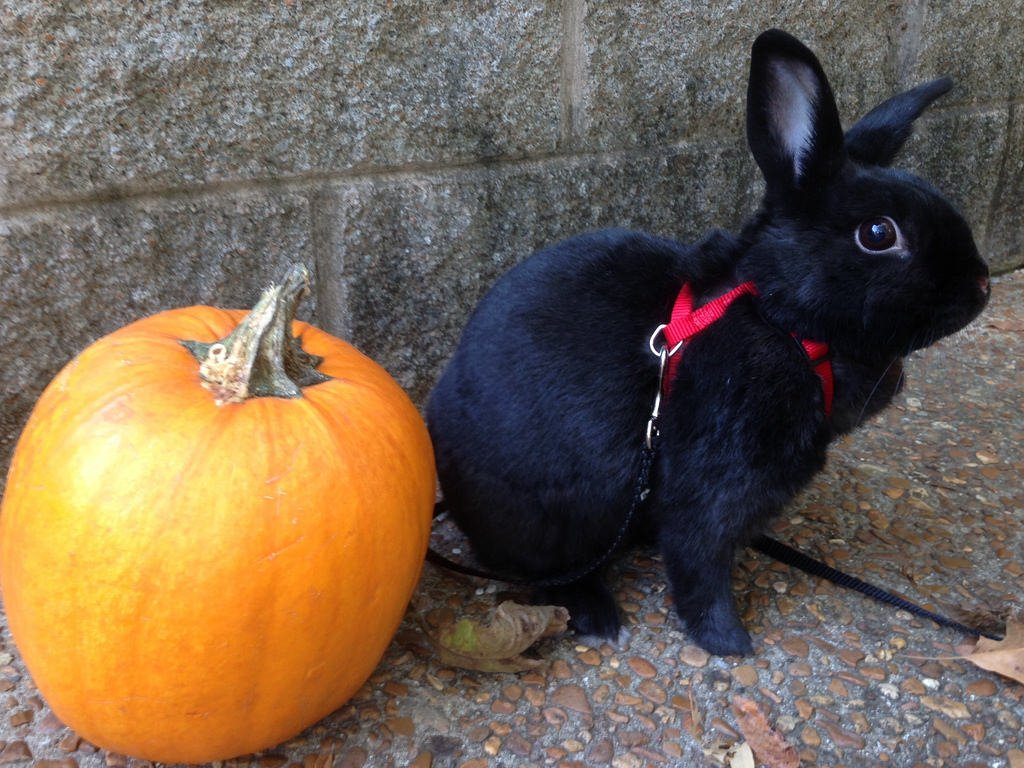 Bunny with pumpkin