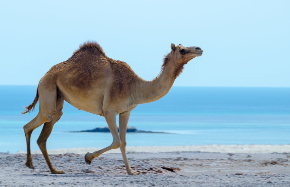 Camel jogging along beach