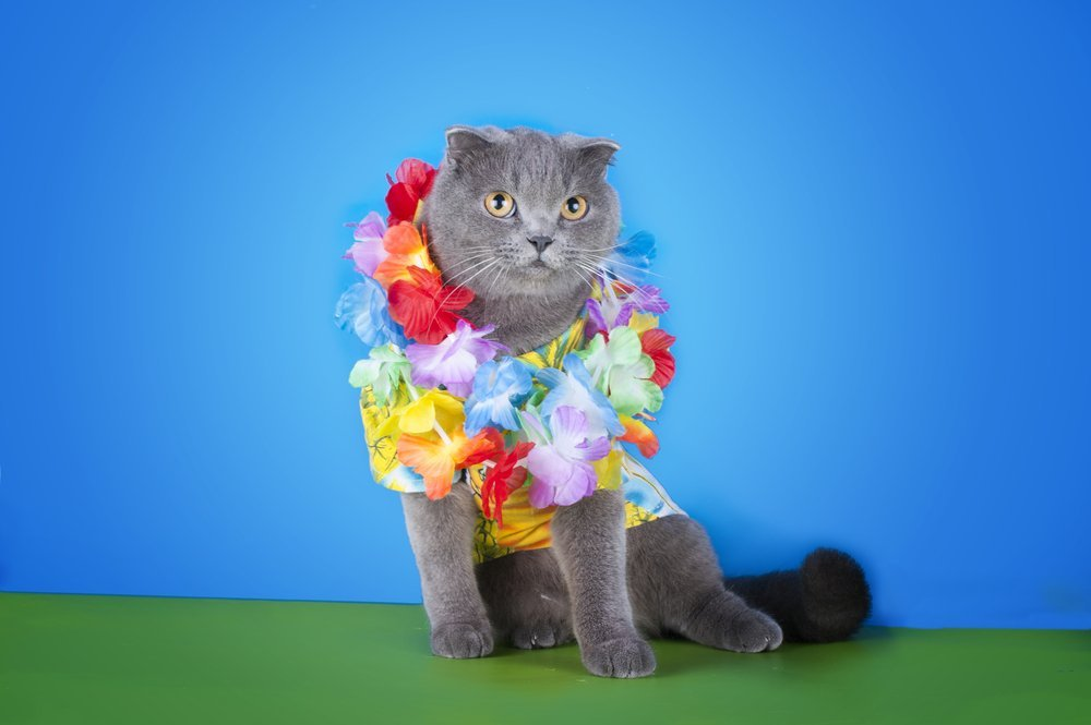 Cat in Hawaiian shirt and lei