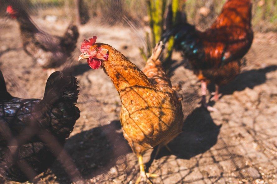 Chickens Hormones Antibiotics Meat Products