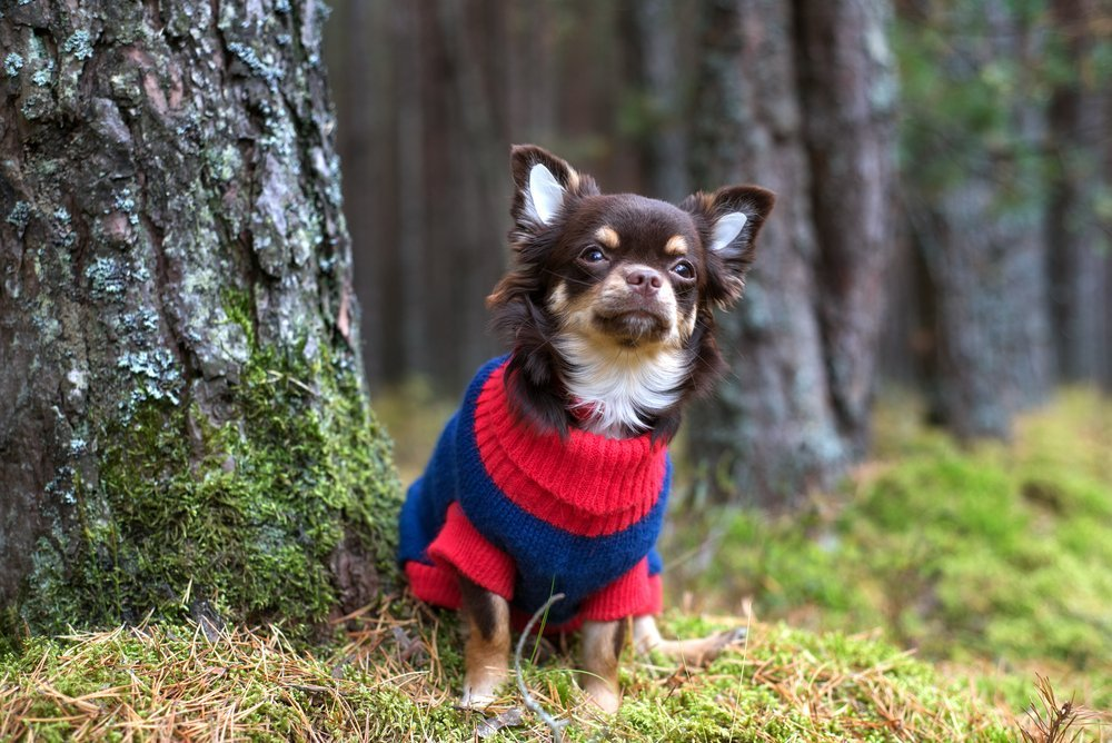 Chihuahua wearing tiny sweater