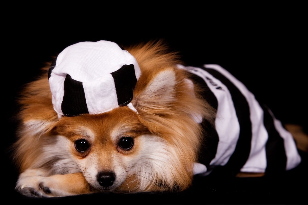Dog in escaped convict costume