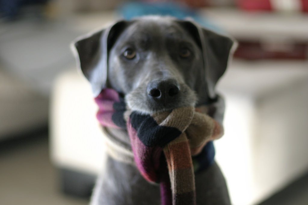 Dog wearing scarf