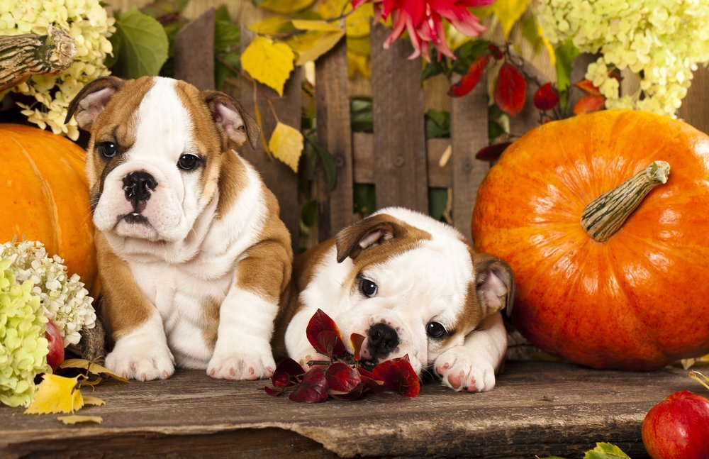 English Bulldog puppies with fall decor