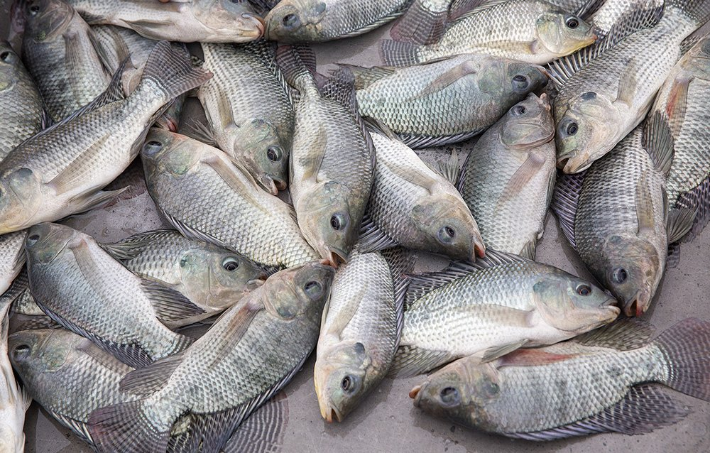 How much do you actually know about tilapia the healthy for Tilapia not real fish