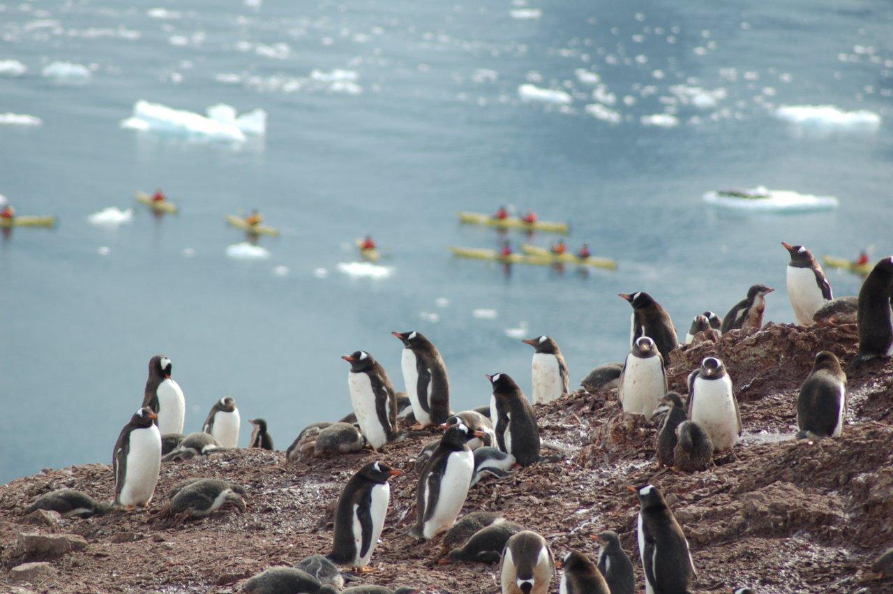 Gentoo penguins overlooking kayakers, Antarctica
