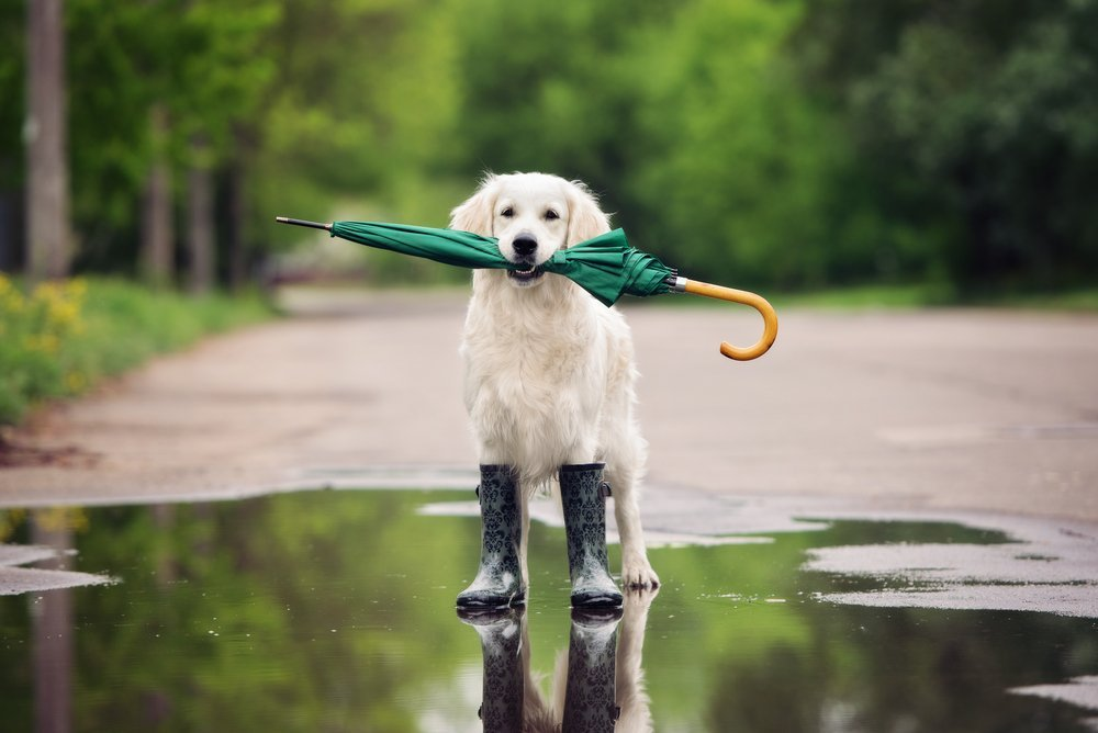 Golden retriever with rainboots and umbrella