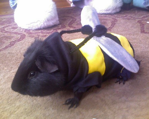 Guinea Pig in bumble bee costume