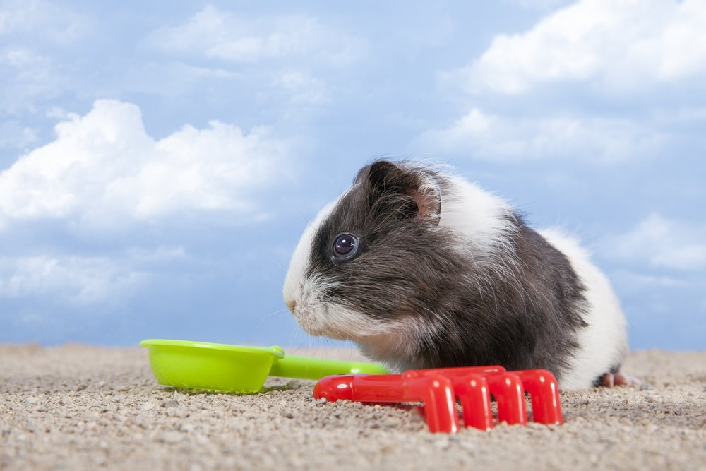 Guinea pig playing at beach
