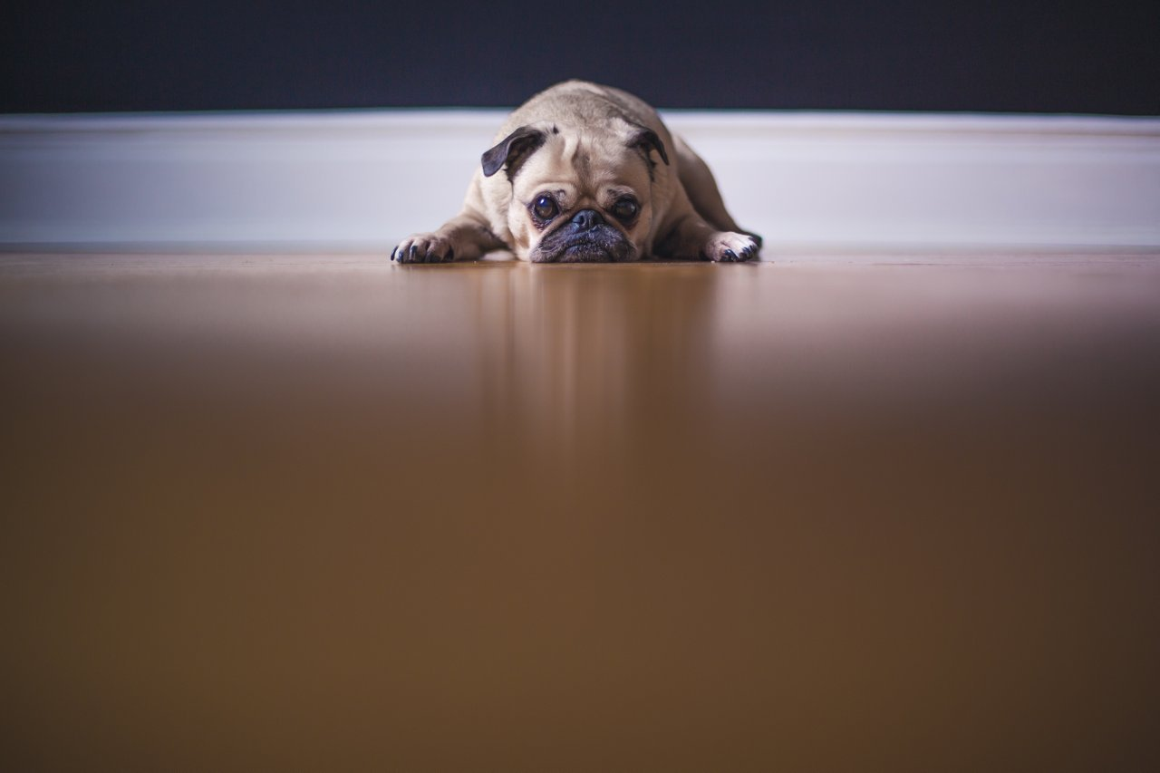 Sad pug lying on the floor