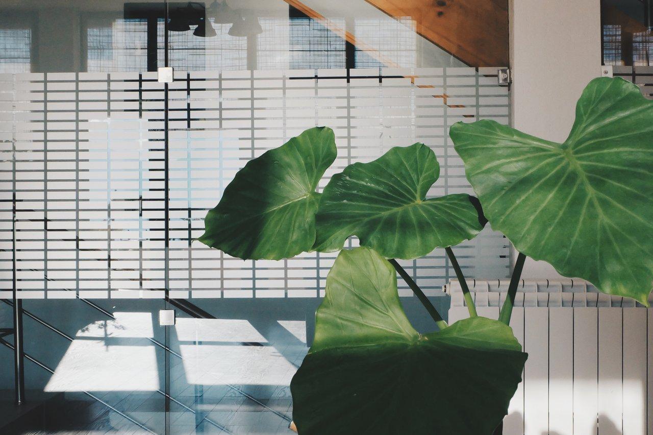 large leafy plant office decor