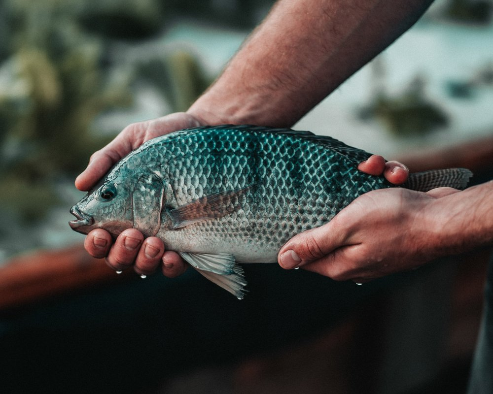 Man holding Tilapia in both hands