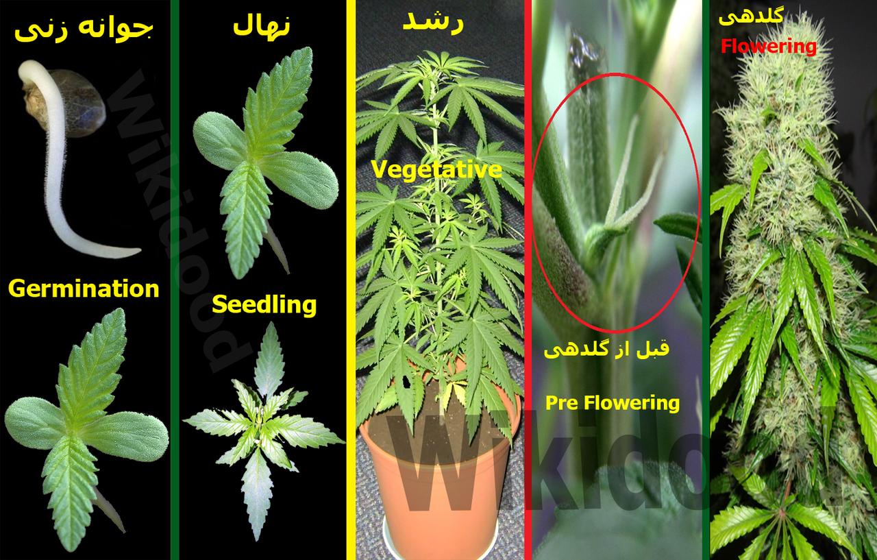 گیاه ماریانا Gkz