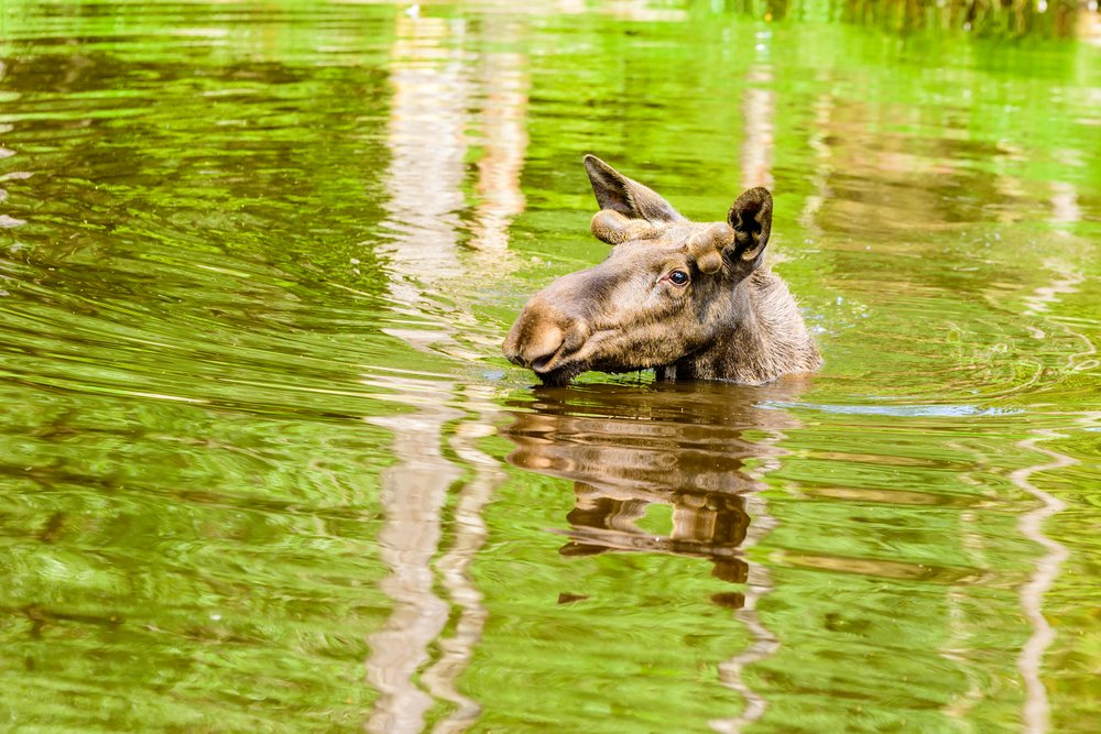 Kangaroo in the water at the beach
