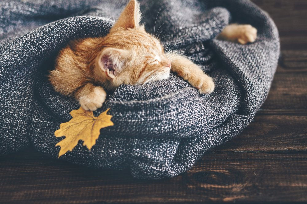 Kitten snuggled in blanket with fall leaf