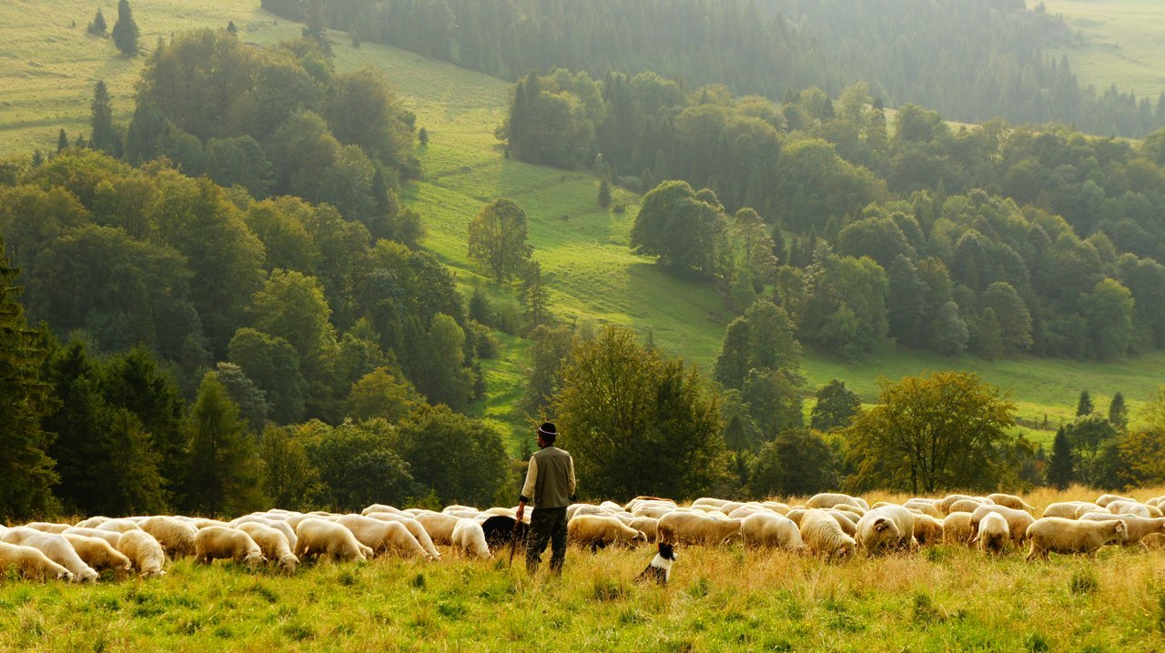 man sheep agriculture sustainable