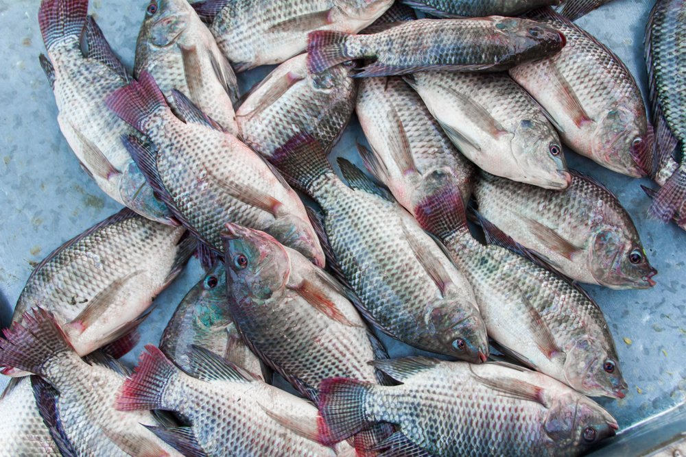 Tilapia Fish Free of Mercury Healthy