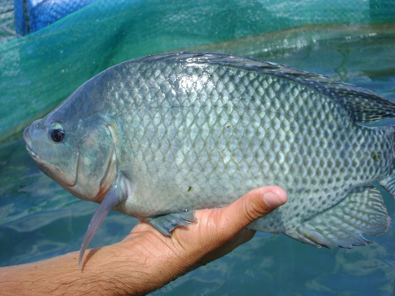 Nile Tilapia Difference Fish