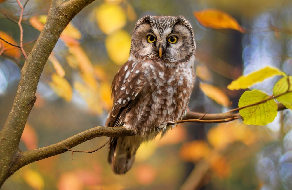 Owl in tree with leaves changing colors