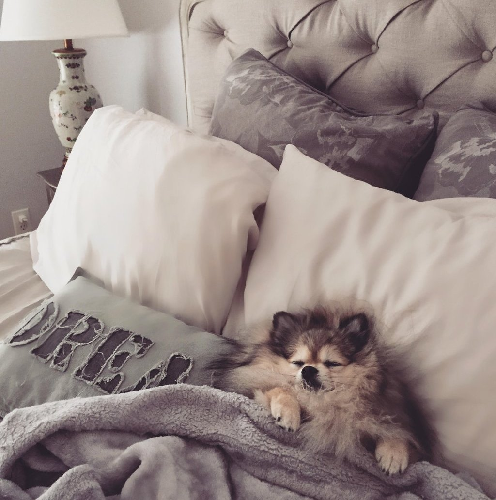 Pomeranian tucked into bed