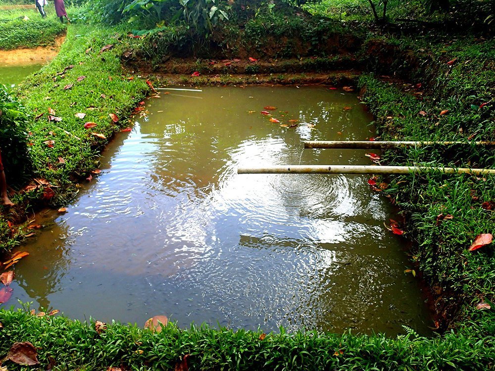 Tilapia pond aquaculture