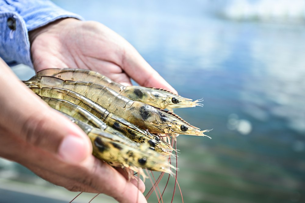 Farmed Seafood Shrimp Aquaculture Myths