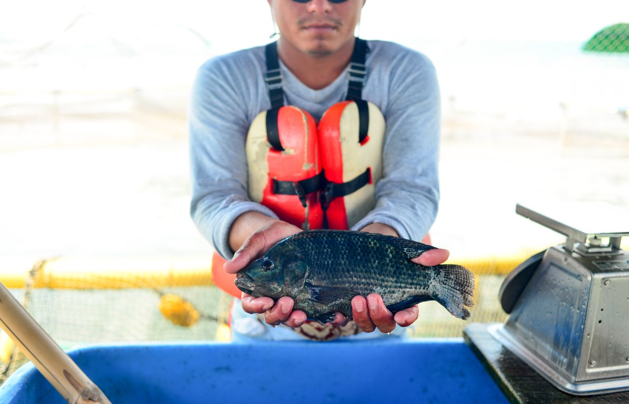Regal Springs Tilapia fish