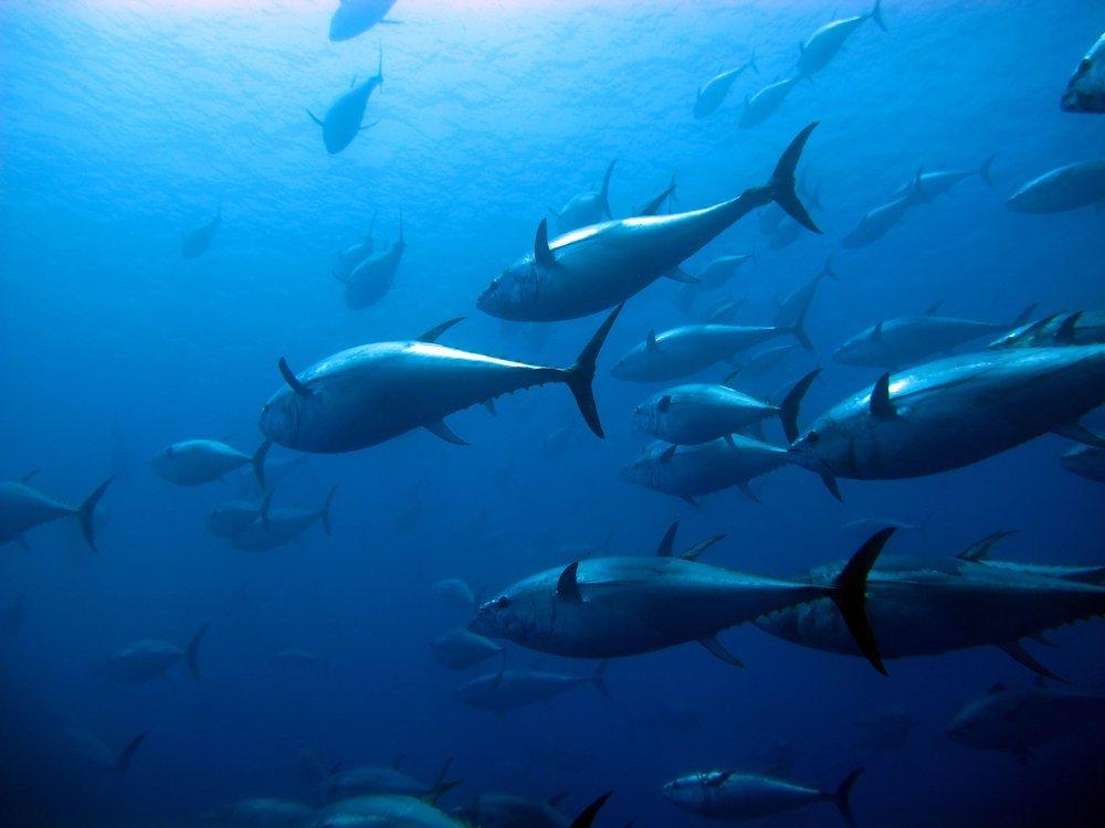 Avoid wild-caught Bluefin Tuna