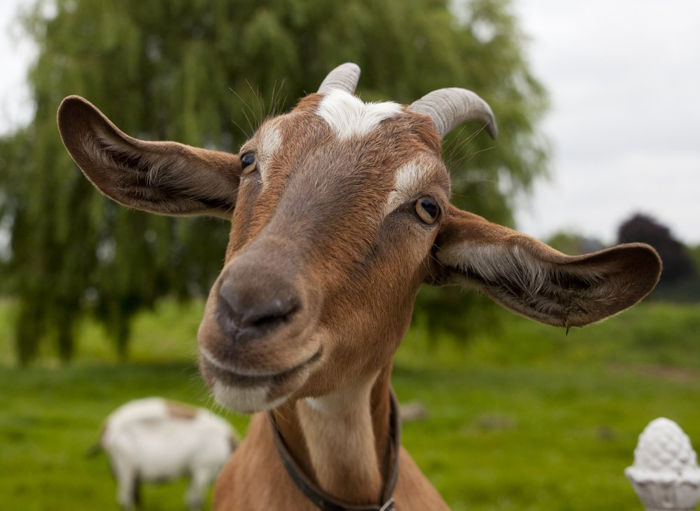 Smiling Goat in Field