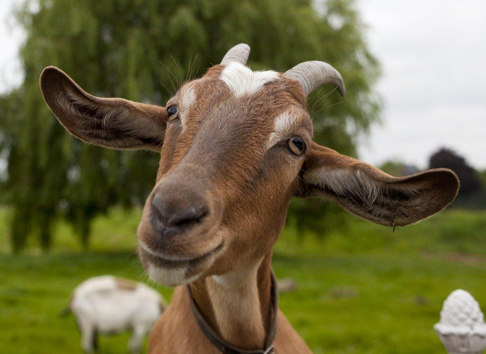 Усміхаючись коза в полі