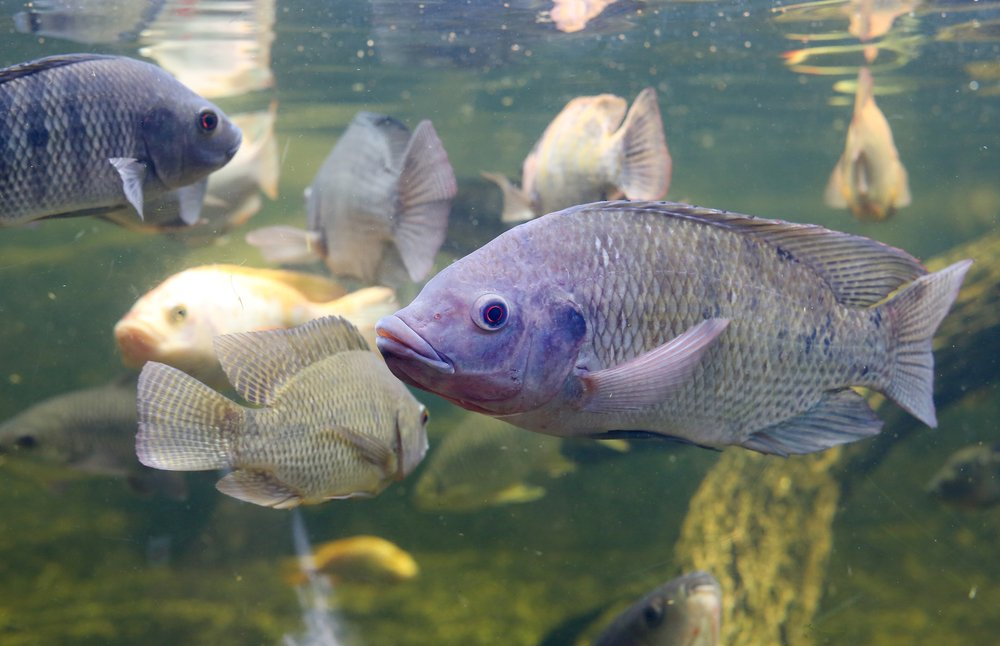 Healthy Tilapia Aquaculture Myths Busted
