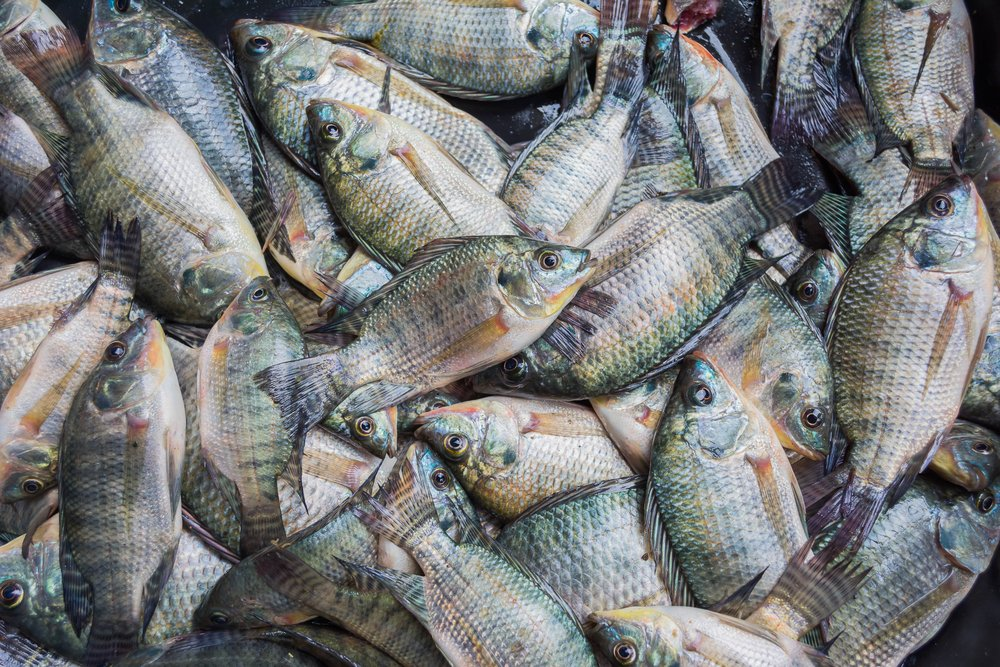Tilapia Best Fish Kids Healthy Nutritious