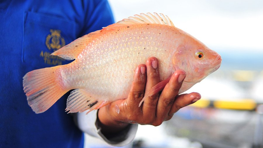 Farmed Tilapia Better Environment