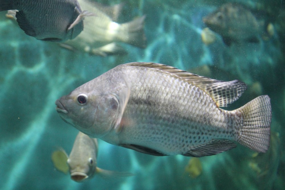 Tilapia fish swimming