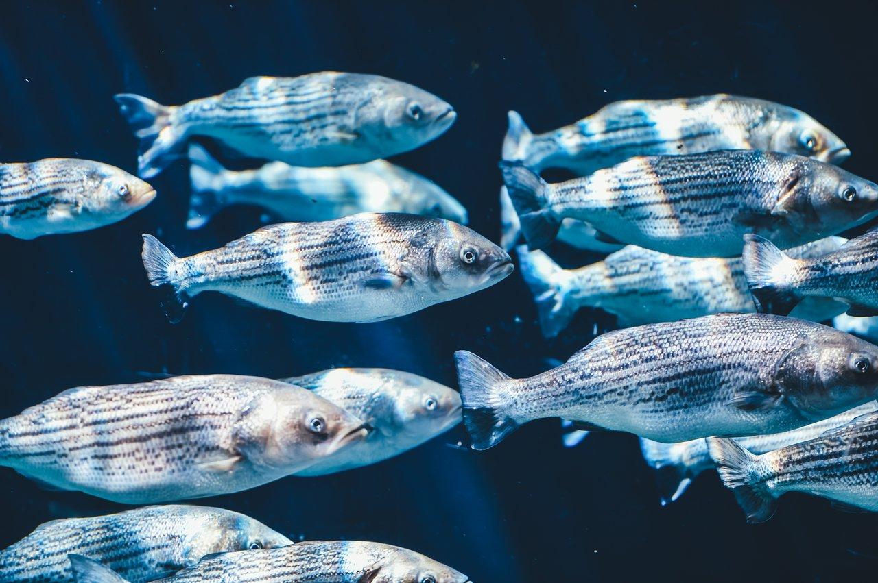 Wild fish underwater